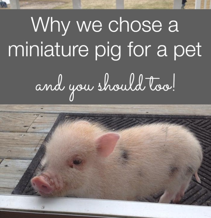 choosing a pig for a pet